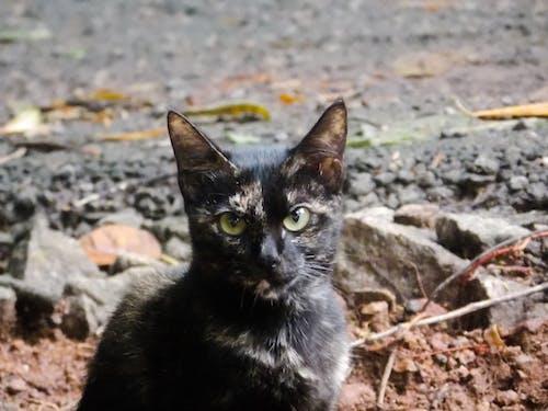 Fotos de stock gratuitas de gato grande, gato muercielago, gato negro, gatos