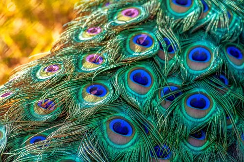 Blue Green and Yellow Peacock Feather