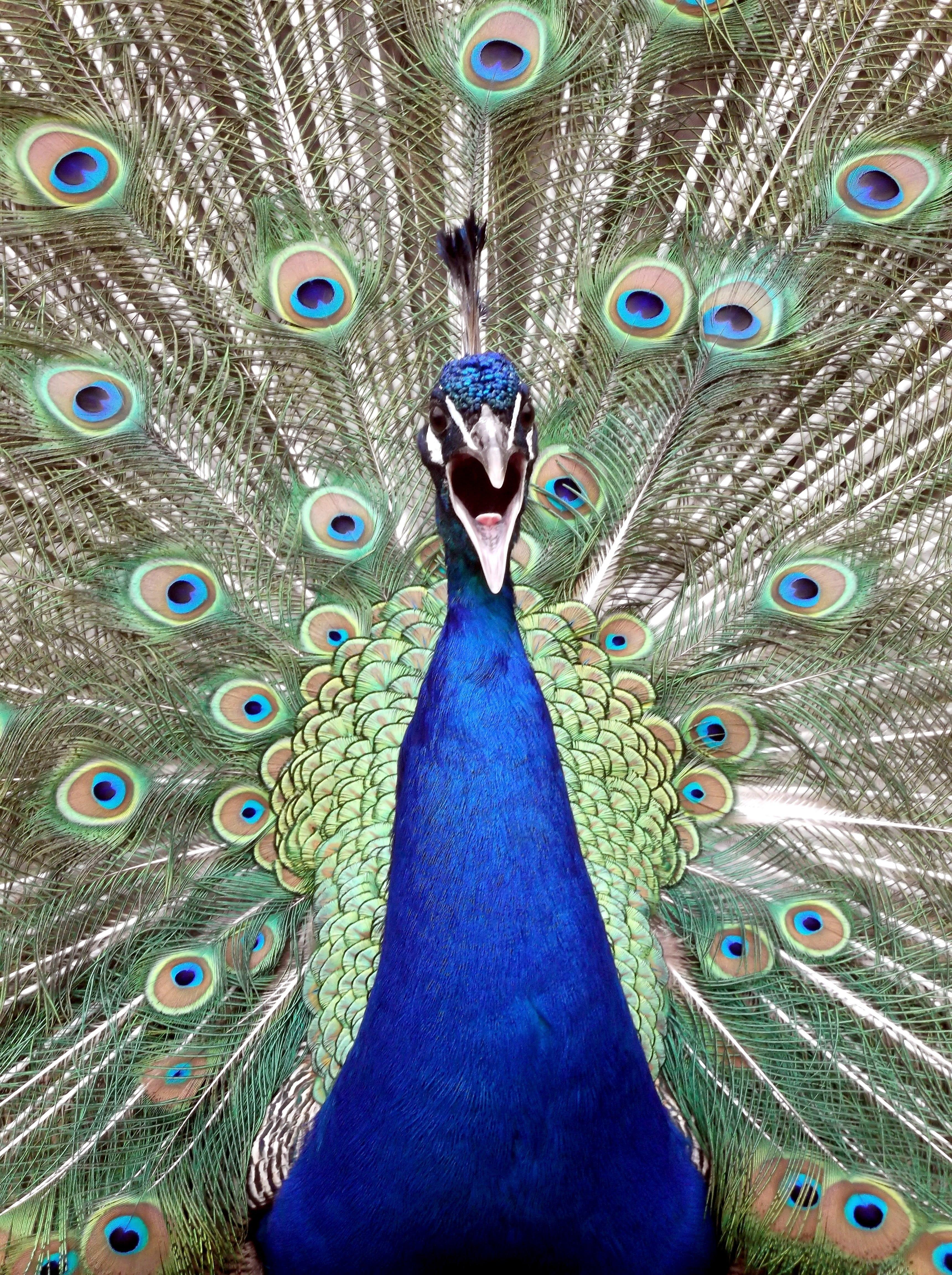 Blue Male Peacock