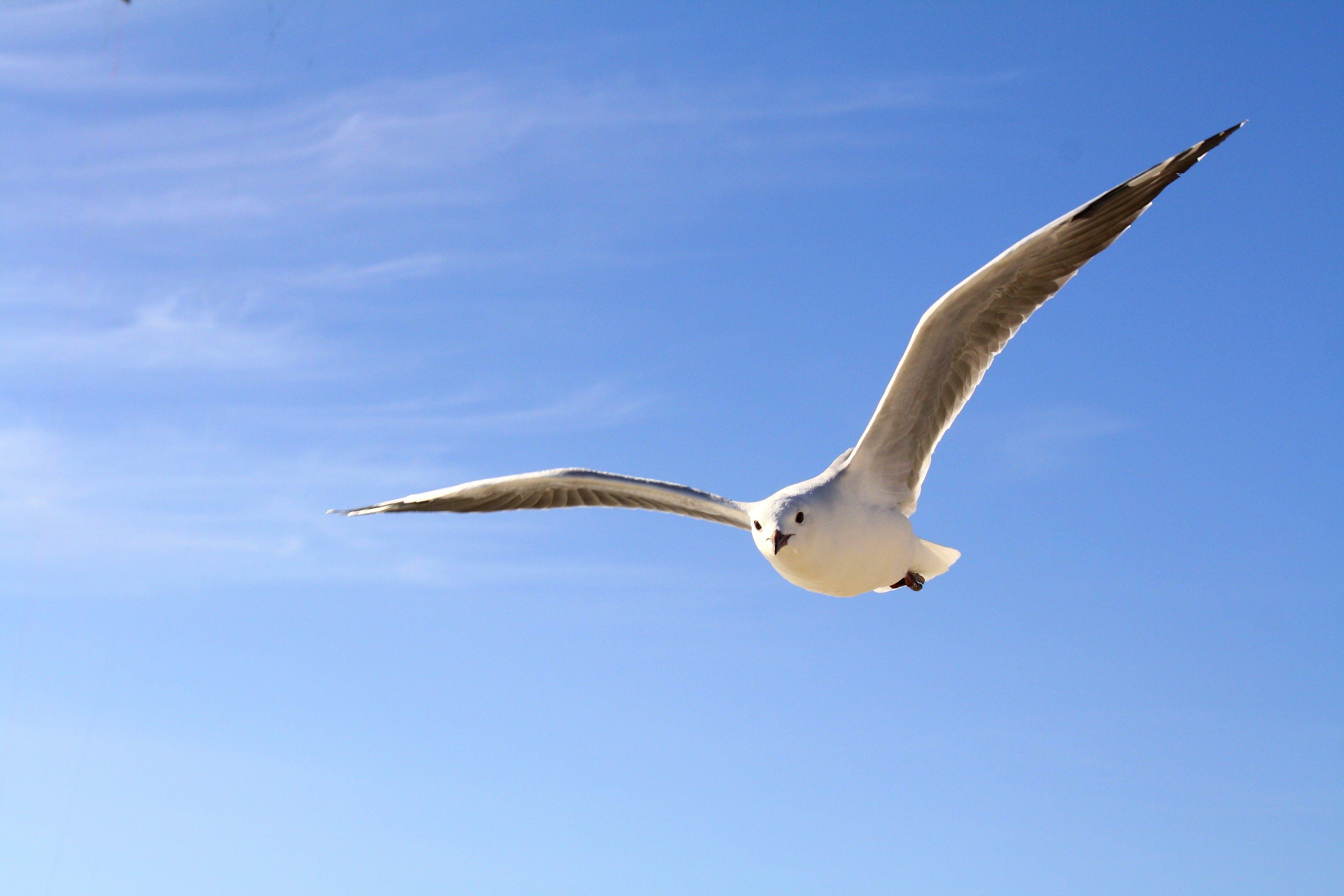 Kostenloses Stock Foto zu himmel, vogel, fliegen, möwe