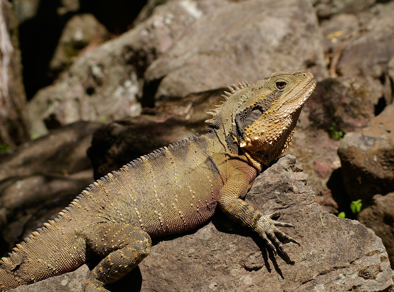 Australian water dragon, brown, crest