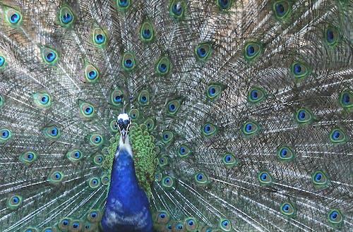 Foto stok gratis aneka warna, bulu burung, harga diri, merak