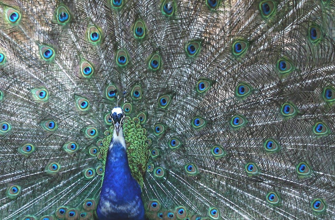 孔雀, 羽毛, 自豪
