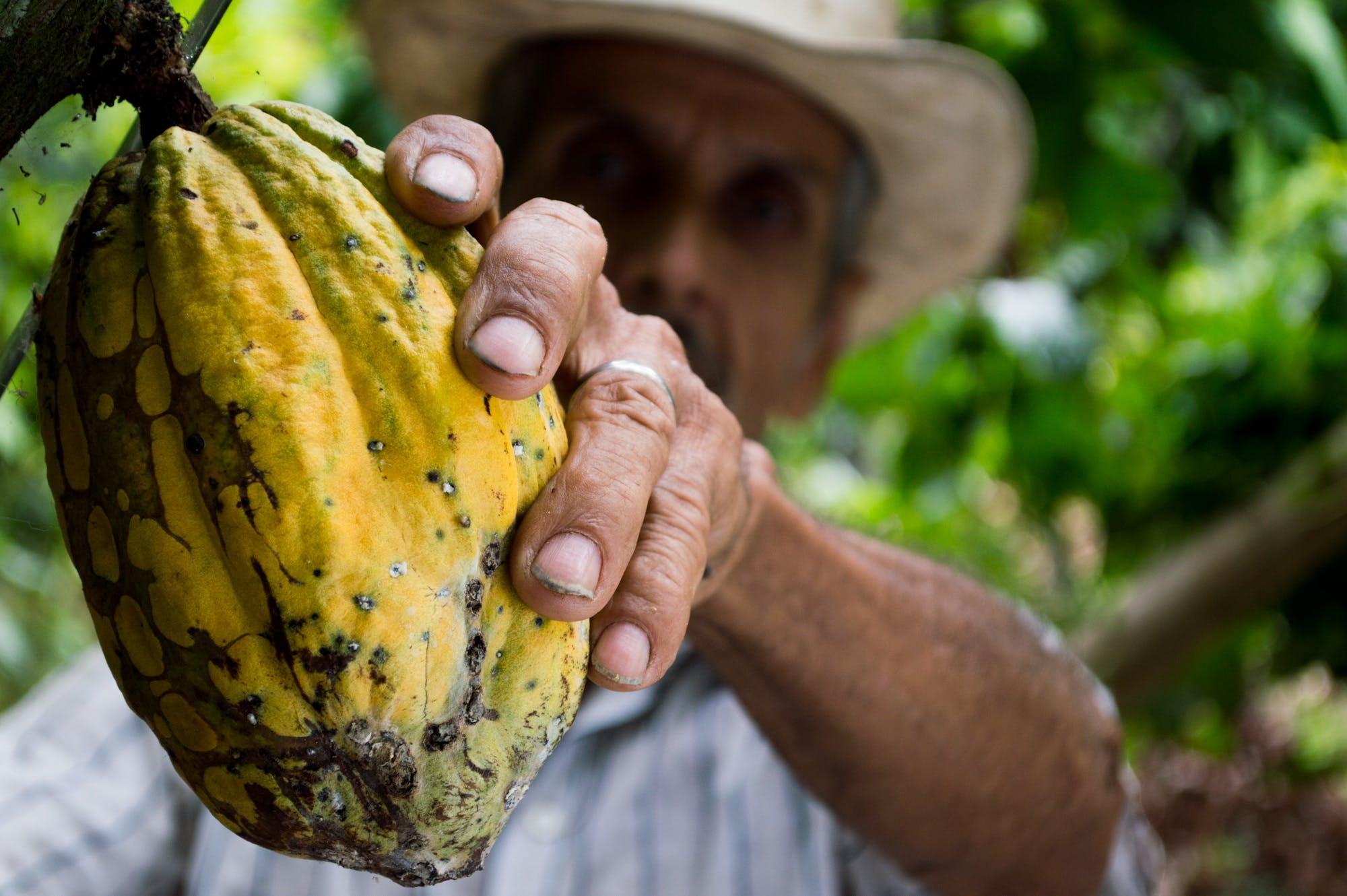 Man Picking Yellow Cocoa Fruit