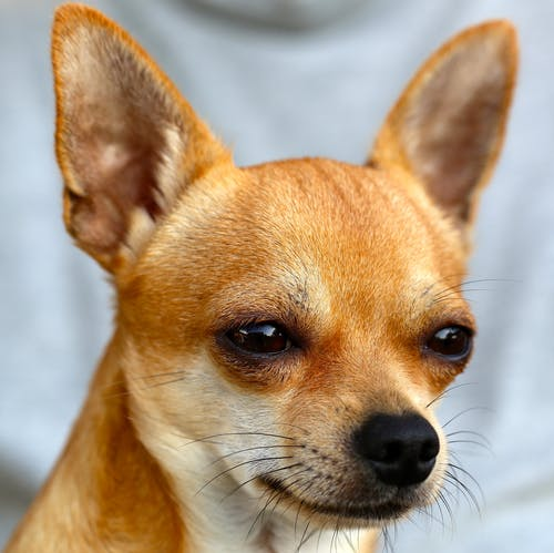 Kostenloses Stock Foto zu augen, chihuahua, haustier, hund