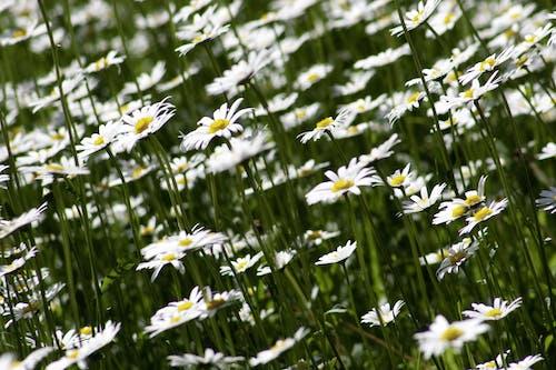 Kostnadsfri bild av blomma, blommor, flora, natur