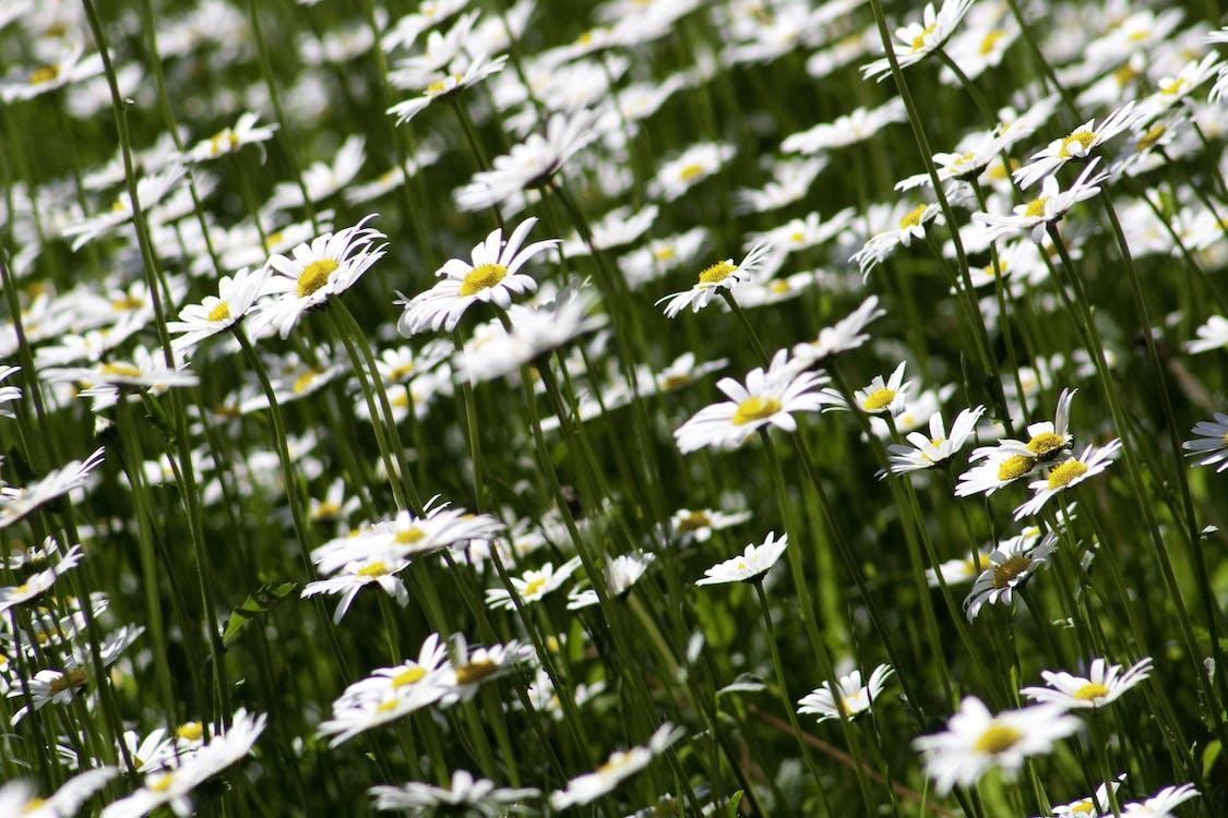 hệ thực vật, hoa, hoa cúc
