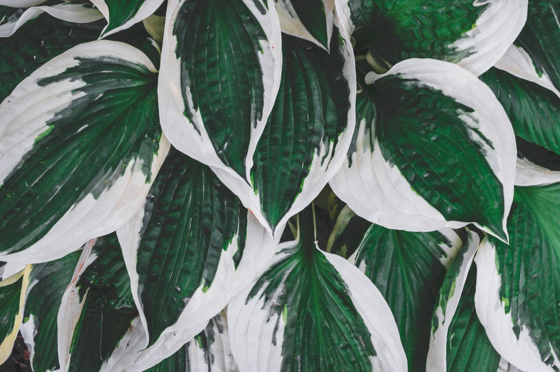 Top view delicate green hosta plant leaves with white edges growing in summer garden