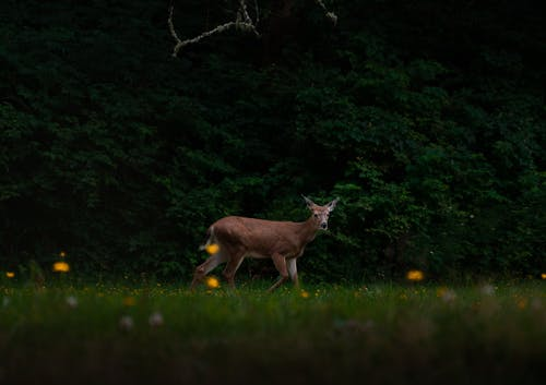 Free stock photo of animal figure, bambi, buck, cute animals