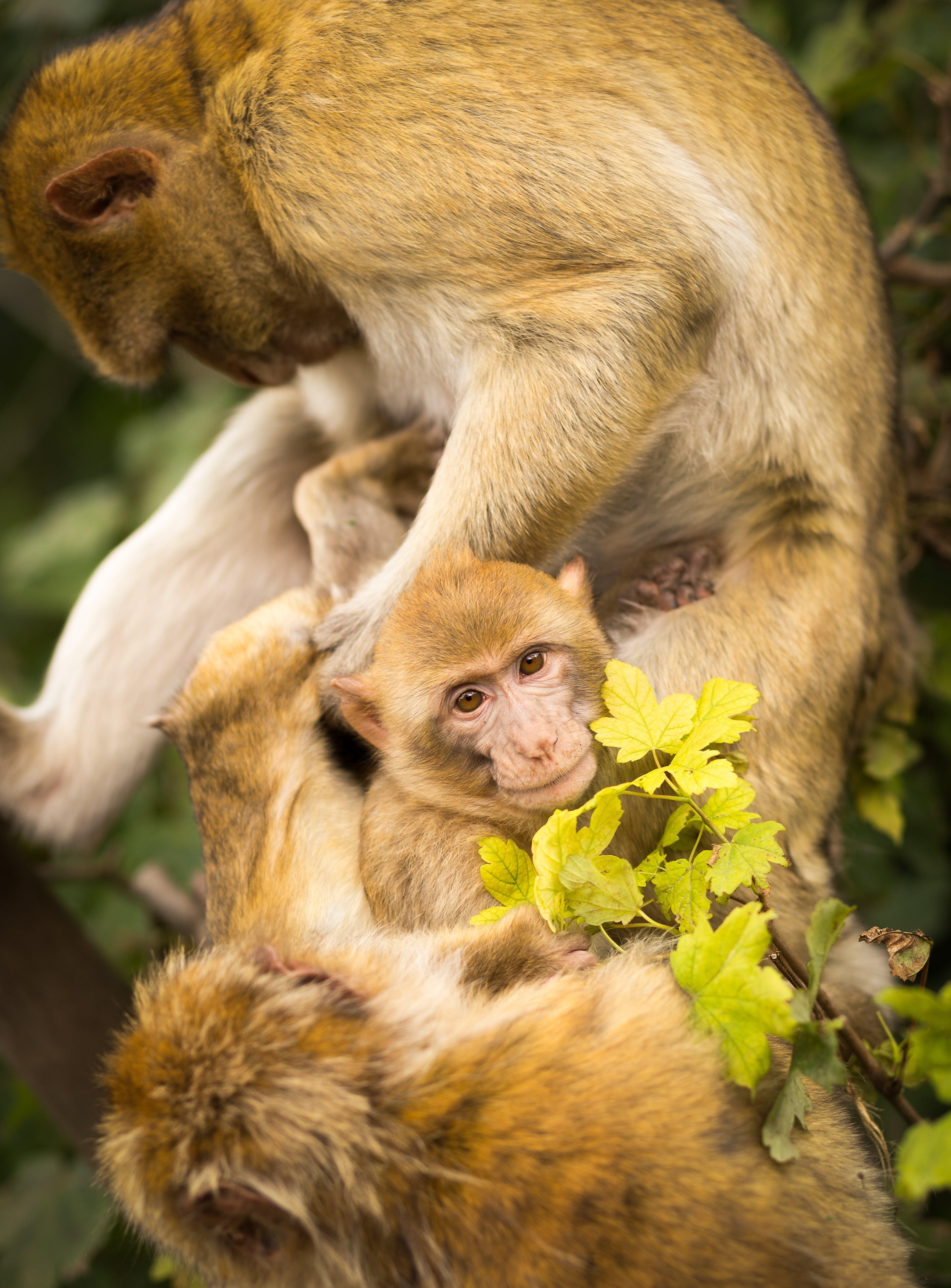 Free stock photo of cute, animals, monkeys, close-up