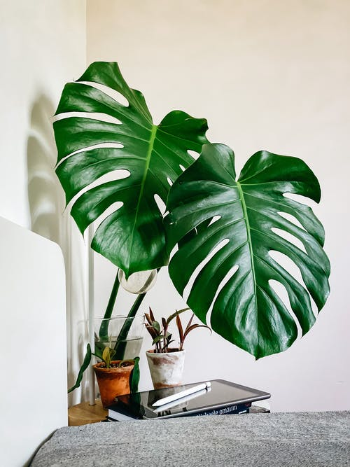 Monstera deliciosa planed in vase arranged on table near laptop in bedroom