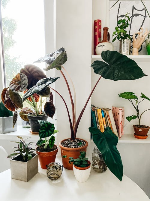 Various species of exotic fig plants with healthy green leaves growing different pots placed on white table in cozy room