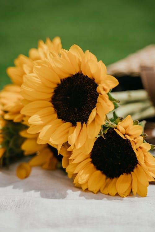 移轴镜头中的黄色向日葵