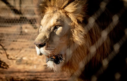 Close-Up Shot of a Lion
