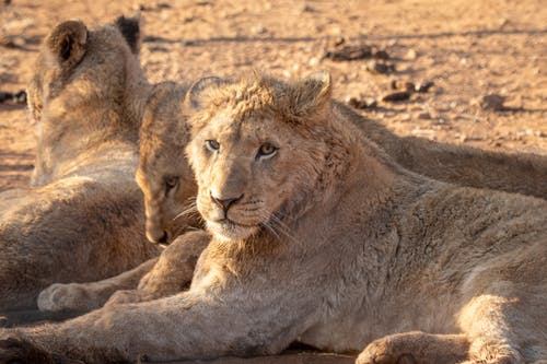 Close-Up Shot of Lionesses Lying Down