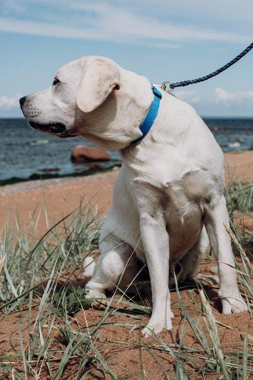 Close-Up Shot of a White Labrador with Leash