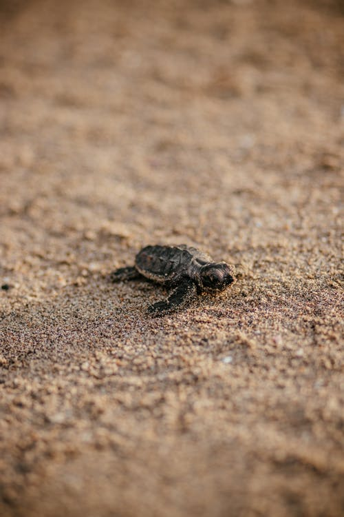 Brown Turtle on Brown Sand
