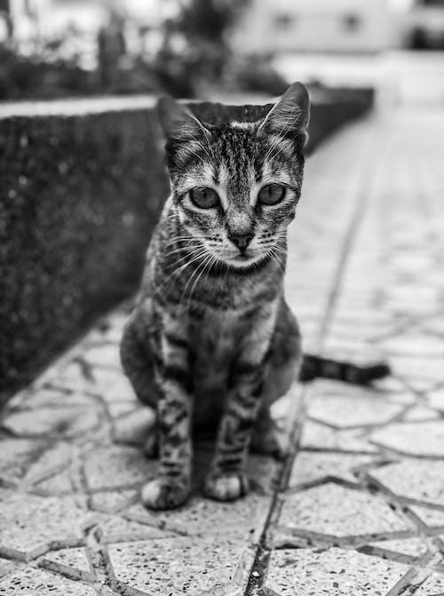 Безкоштовне стокове фото на тему «amoureux des animaux, chat de compagnie, балаканина»