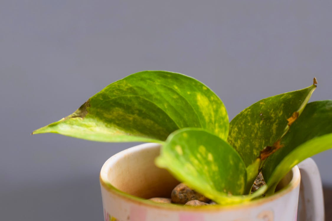 Free stock photo of money plant, table decoration, tea cup