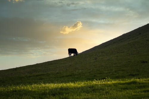 Cow grazing on grassy hill slope
