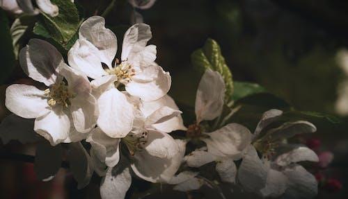 Gratis lagerfoto af æble, æbleblomster, æbletræ, Apple