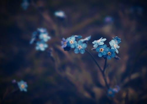 Gratis lagerfoto af blå blomster, blad, blomst, blomster