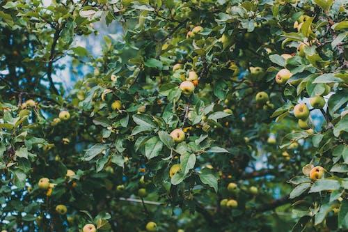 Imagine de stoc gratuită din agricultură, anotimp, apple, arbore