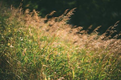 Imagine de stoc gratuită din buruiană, câmp, câmp de fân, cereale