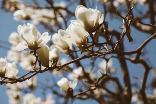Branch with blooming flowers of magnolia tree
