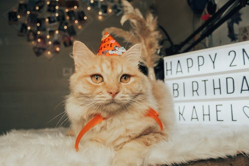Celebrating a Tabby Cat Second Birthday