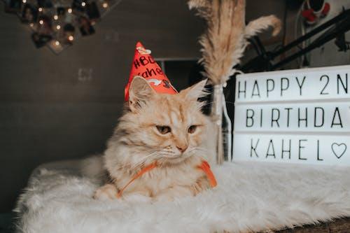 A Tabby Cat Birthday Celebration