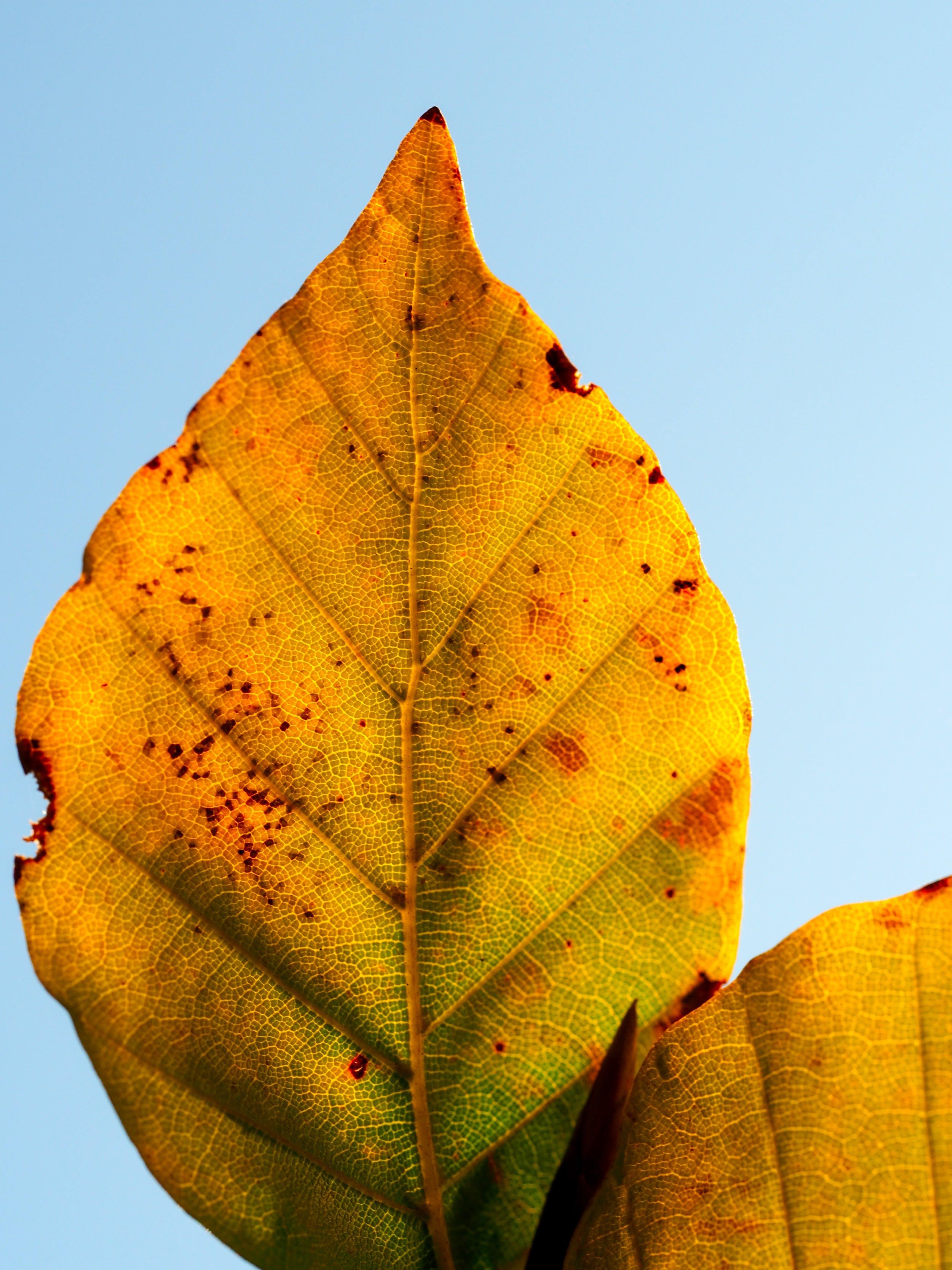 Free stock photo of nature, yellow, leaf, autumn