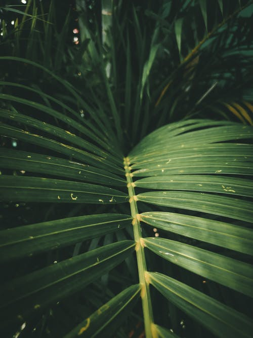 Exotic Dypsis lutescens plant leaves in tropical forest