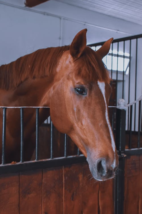 Chestnut horse with shiny eyes standing in clean light paddock with metal barrier