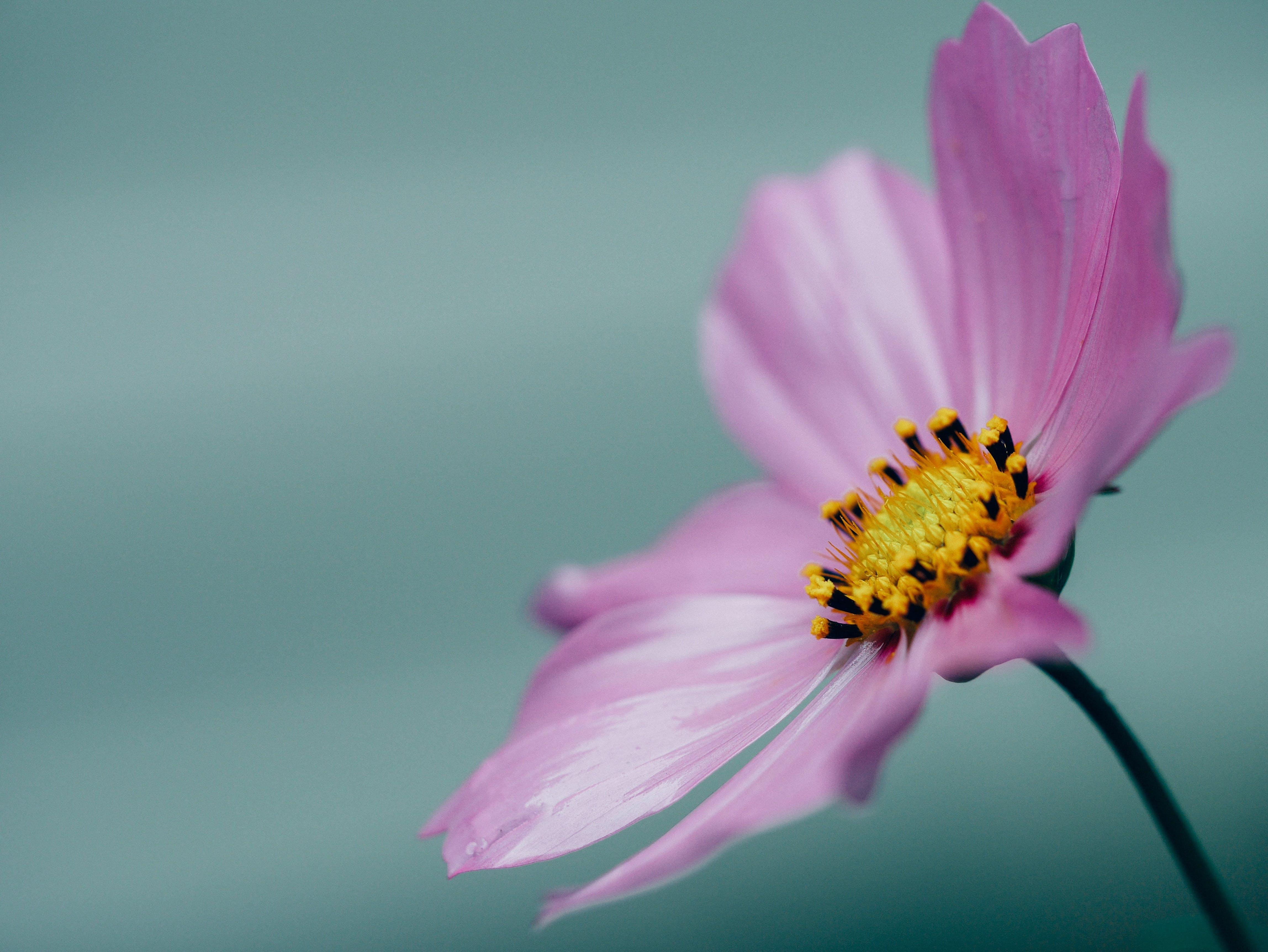 Immagine gratuita di bel fiore, bellissimo, delicato, fiore