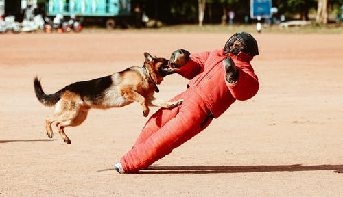 Person in Red Pants and Black Helmet Holding Black and Brown German Shepherd Puppy