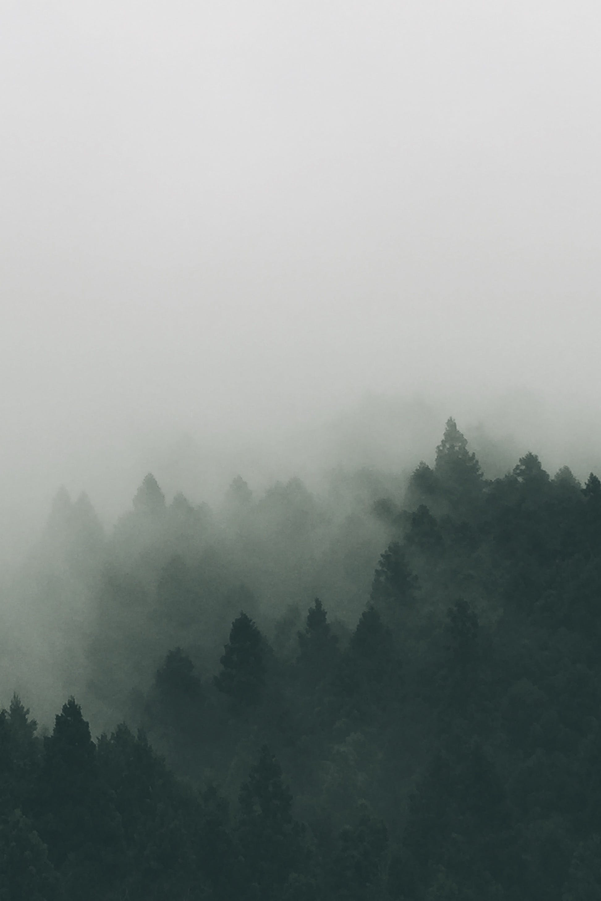 Trees Cover With Fog