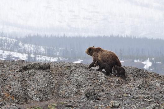 Bears Walking on Rocky Mountain
