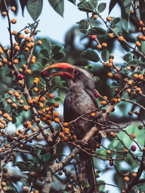 Hornbill eating small fruits on tree in summer