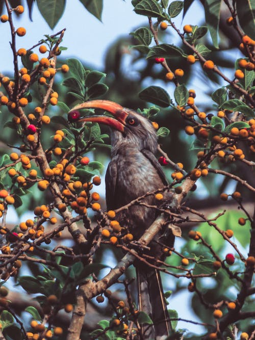 Omnivorous bird with brown plumage and long beak eating fruits from tree in daylight