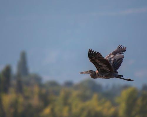佛羅里達大沼澤地, 動物, 大藍鷺, 戶外 的 免費圖庫相片