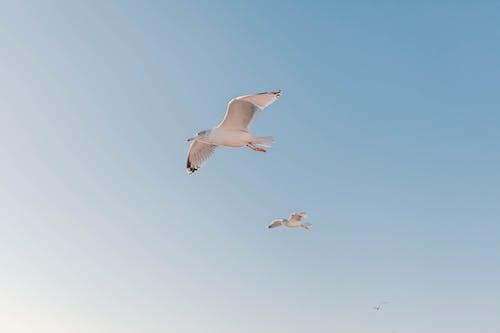 White seagulls flying in blue sky