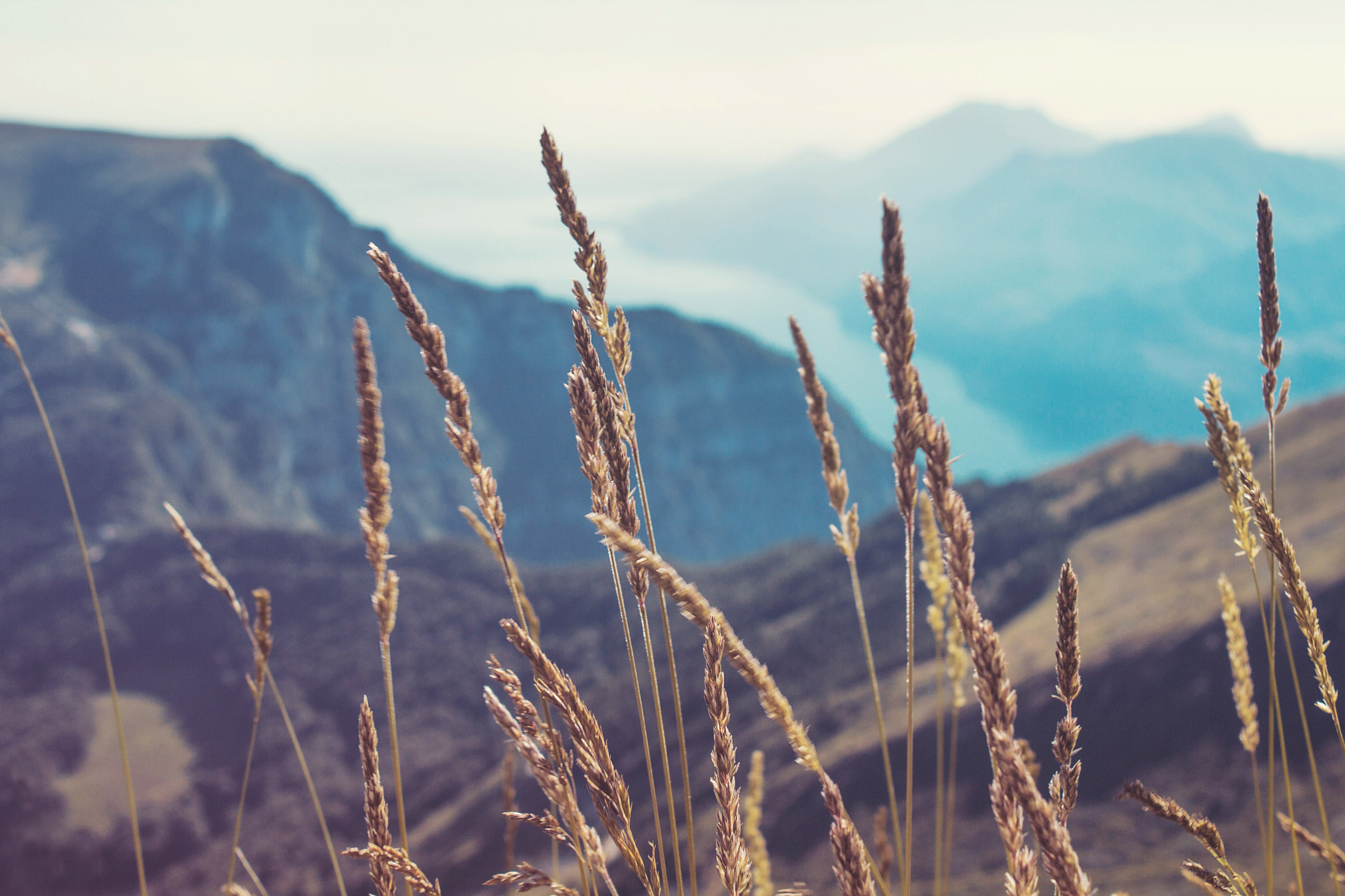 Free stock photo of alpine, blurred background, dry, ears