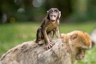 nature, animals, monkeys
