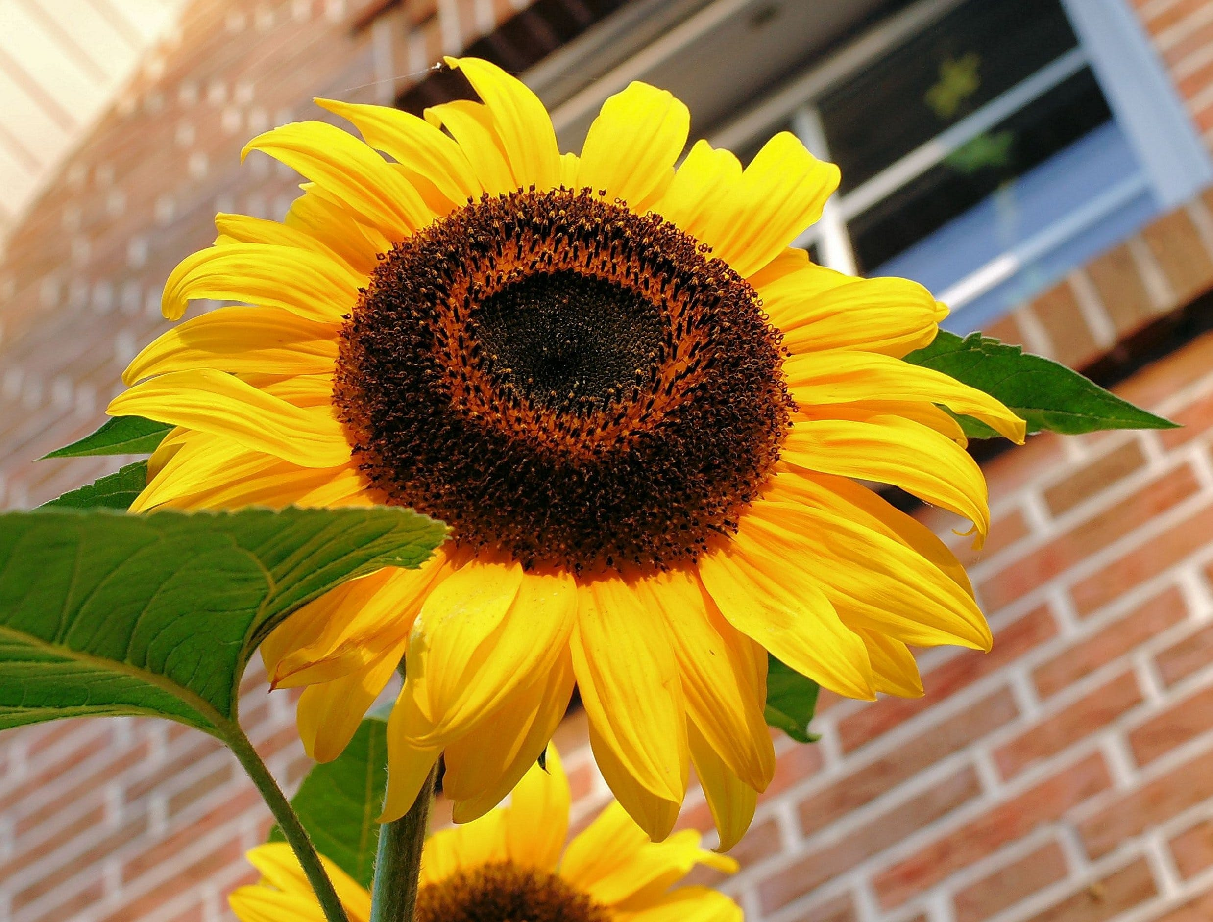 Close Photography of Yellow Sunflower