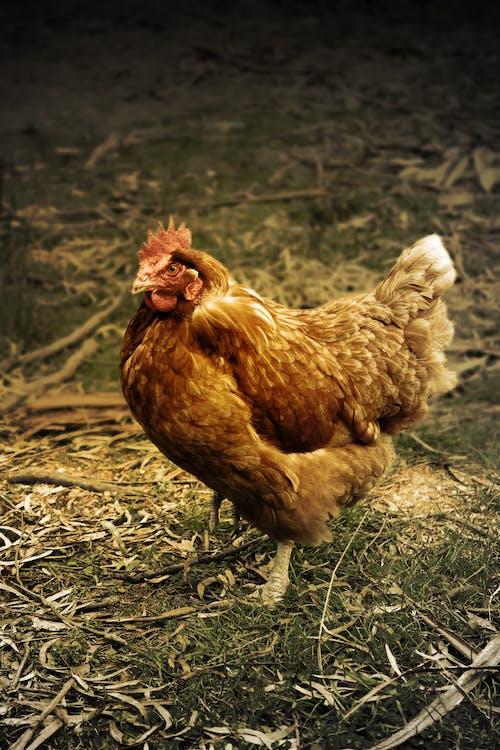 Gratis lagerfoto af dyr, høne, kylling
