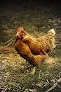 bird, animal, chicken