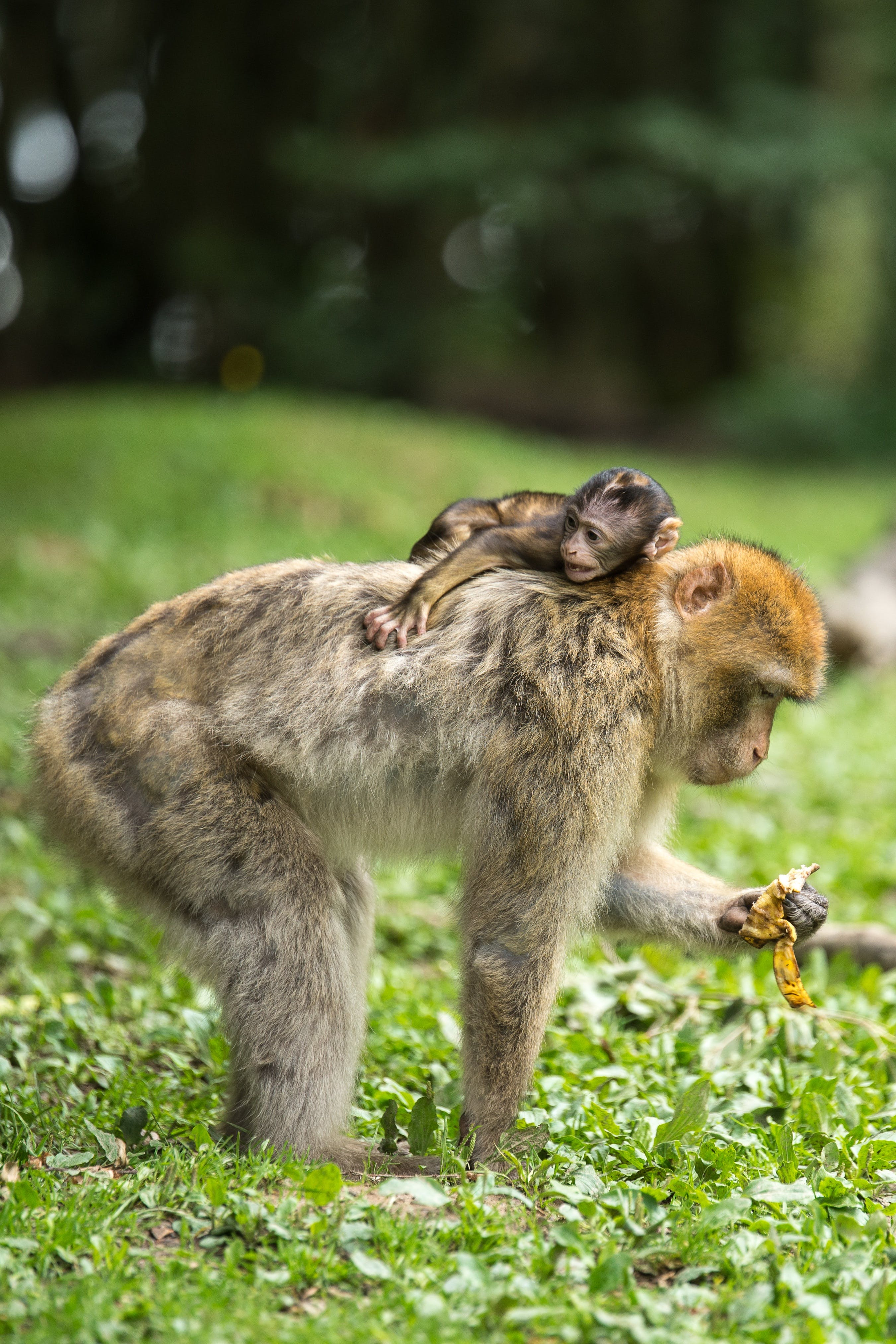 Black Baby Monkey on Top of Brown Monkey Standing on Green Grass