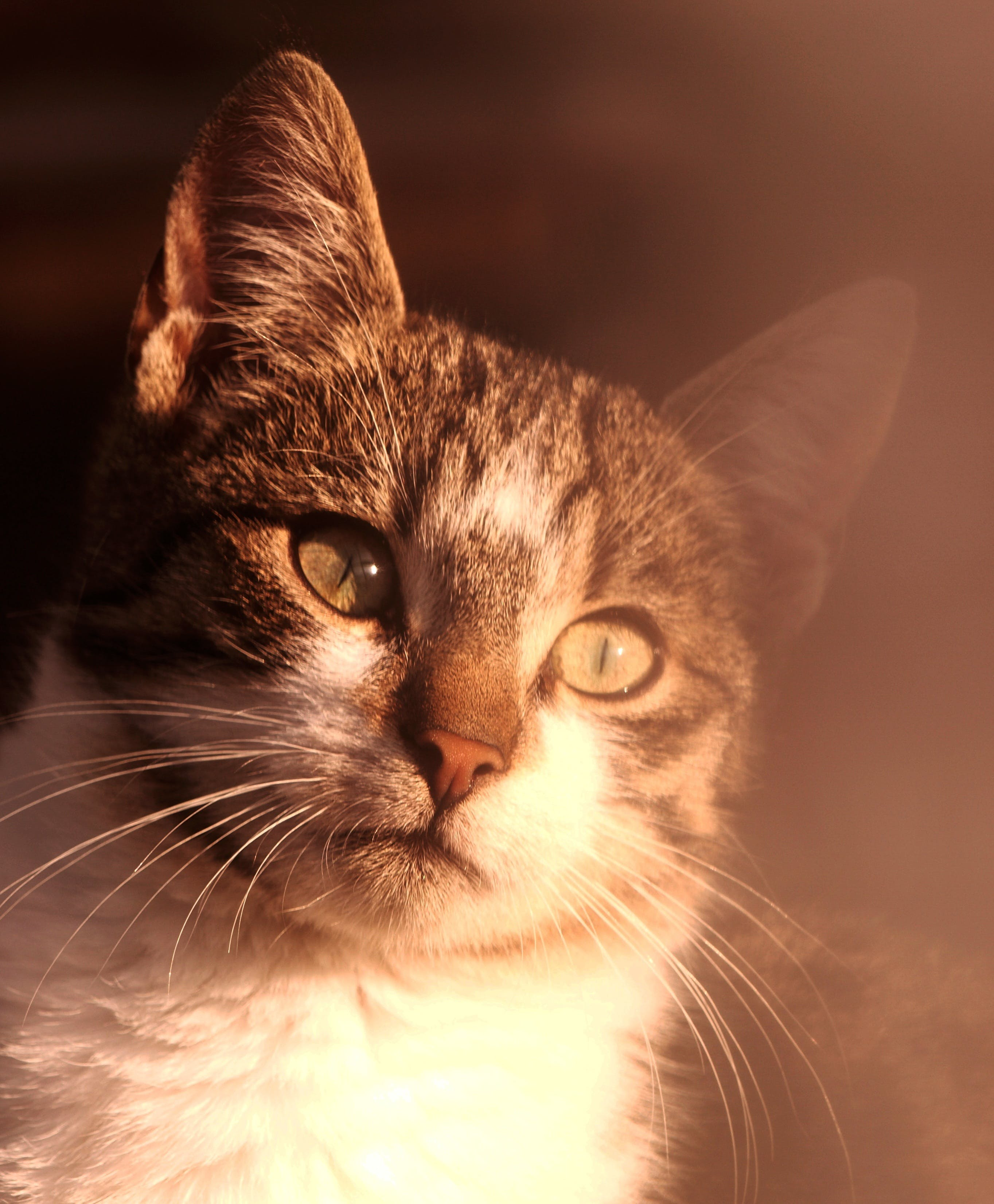 Free stock photo of animal, pet, white, portrait