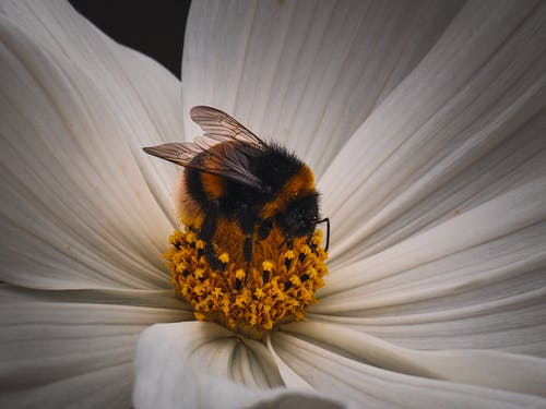 Bumblebee sitting on white flower